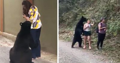 Curious Giant Black Bear Captured Again Trying To Hug Another Woman