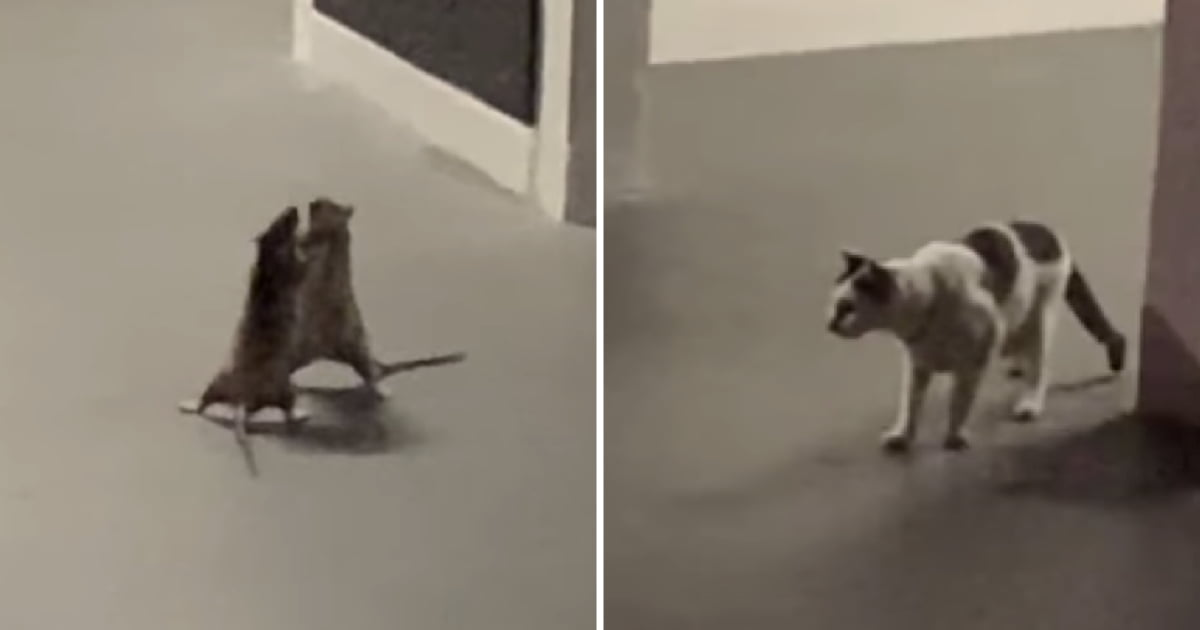 Woman Hilariously Captured A Cat Watching Fight Between Two Rats