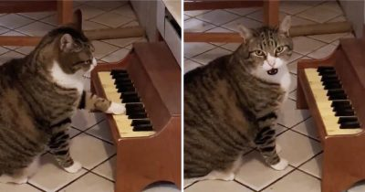 Cat Plays Piano To Ask For Food And He's Gone Viral