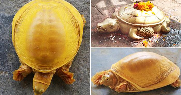 Wonderful Golden Turtle Found In Nepal