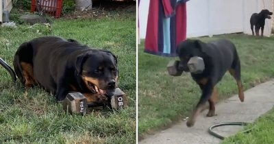 This Dog Carries 13.6kg Dumbbell Everywhere He Goes