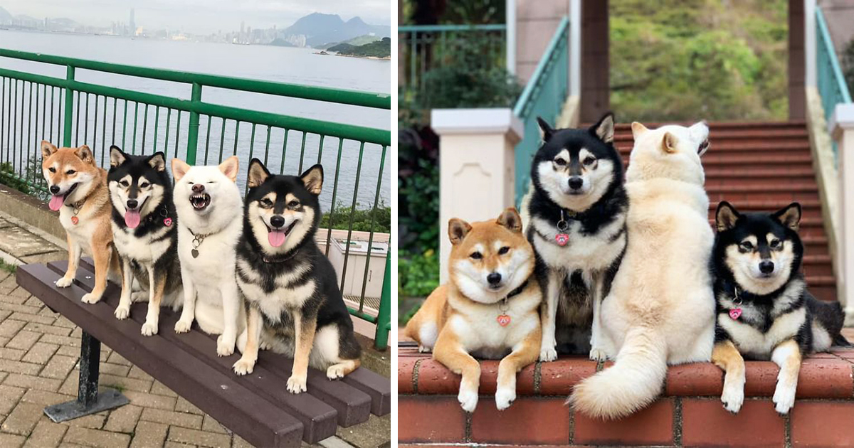 Shiba Inu Goes Viral For Hilariously Ruining Group Photos