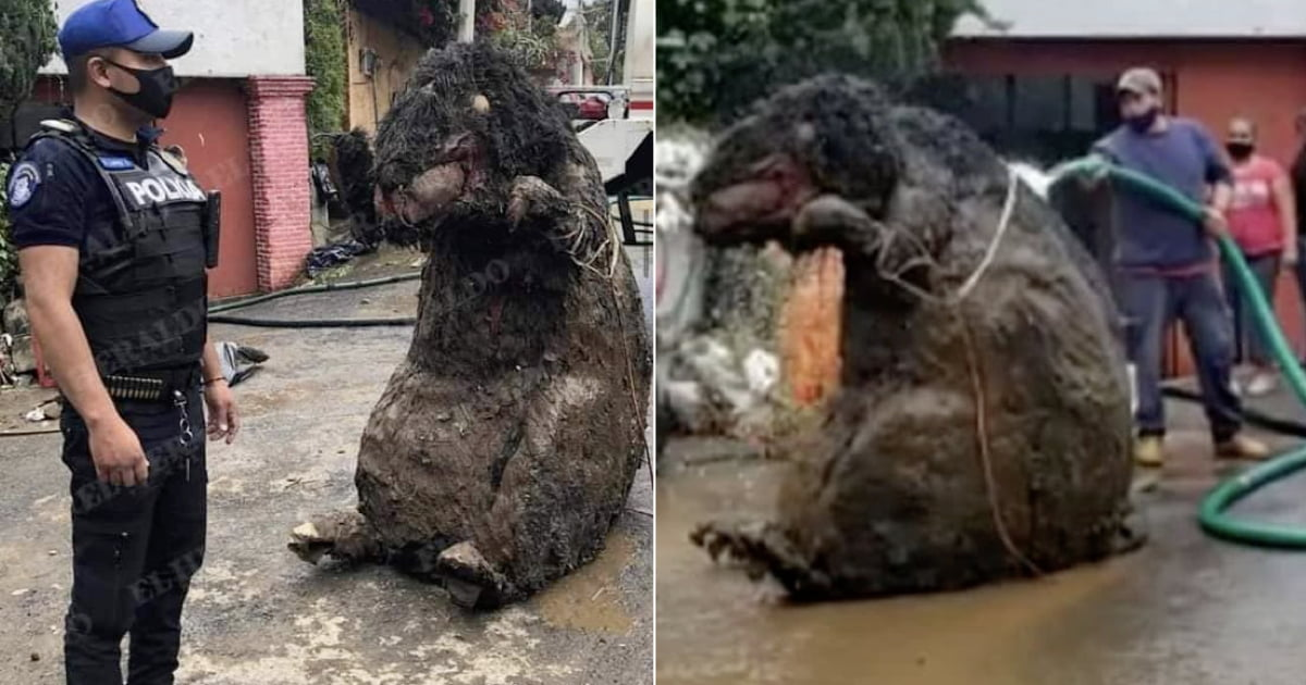 5-Foot Tall 'Gigantic Rat' Discovered In Mexico's Sewer System