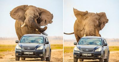 Incredibly Huge Elephant Left Stunned By Passing Vehicles Chases After A Car In Kenya