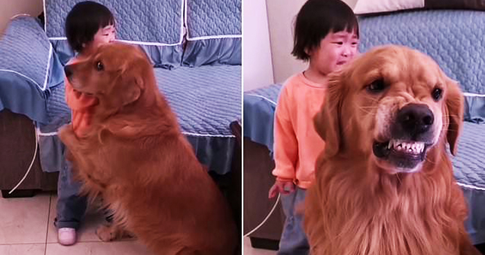 Golden Retriever Shields Crying Girl From Furious Mom And It Goes Viral