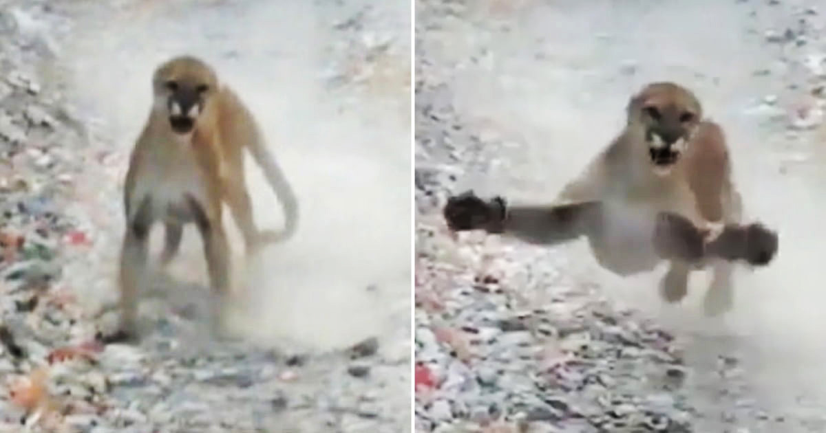Hiker Escapes From A Cougar Trying To 'Escort' Him For Six Minutes