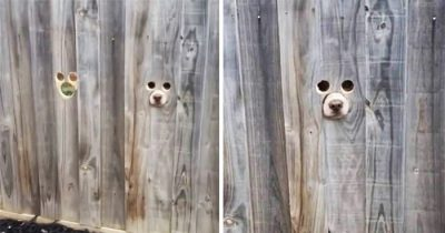 Woman Cuts Dog Size Holes In Fence So Her Labradors Can See Through
