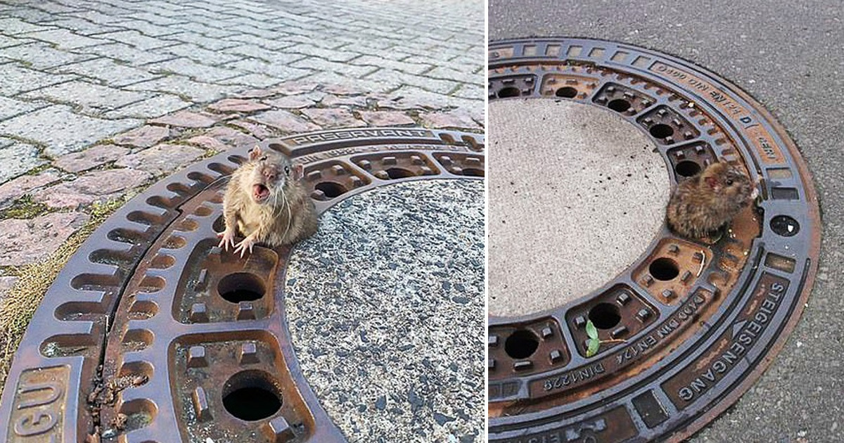 Chubby Rat Freed By Firefighters After It Got Stuck In A Manhole