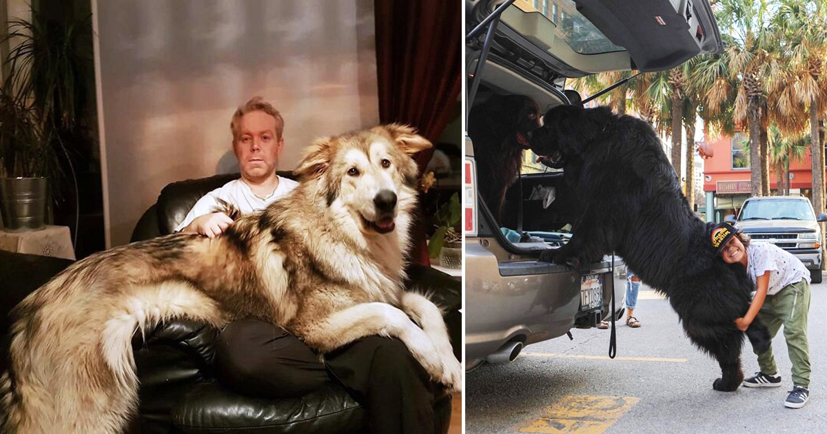 23 Hilarious Pics Show That Dogs Are Way Bigger Than Their Owners