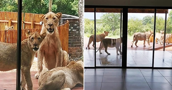 Couple Astounded To Find Six Lions Lounging Around On Their Patio
