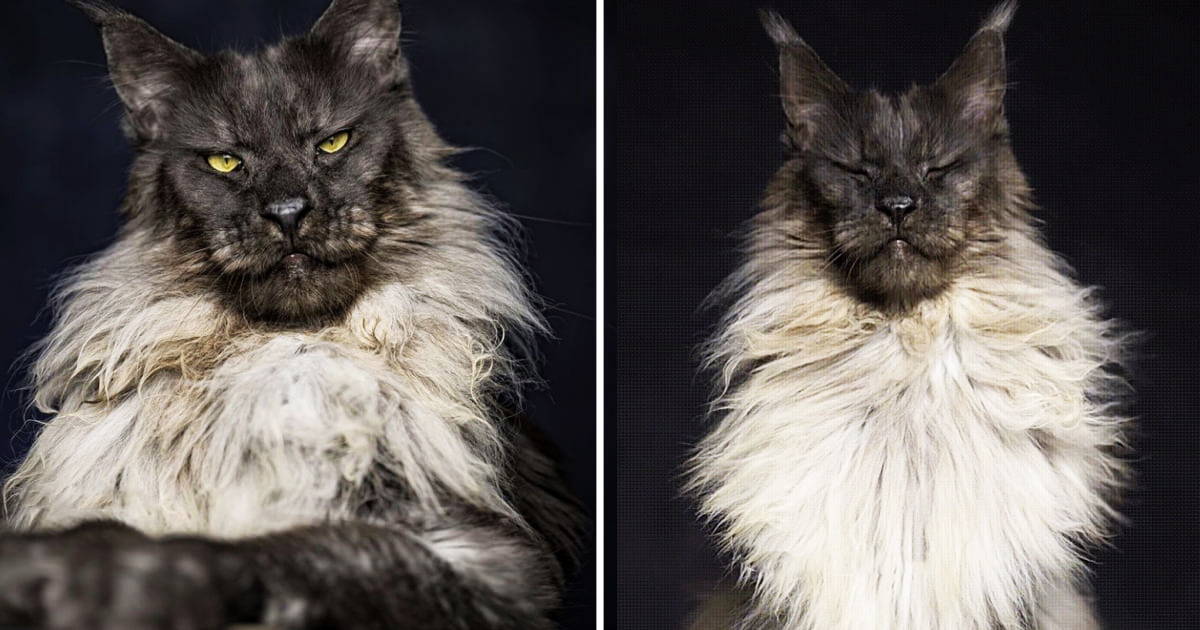 This Maine Coon Looks Majestic Enough To Be King