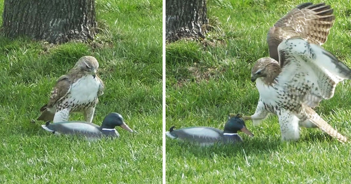 This Hawk is Confused As His 'Duck' Prey Doesn't Seem Fazed By His Attacks