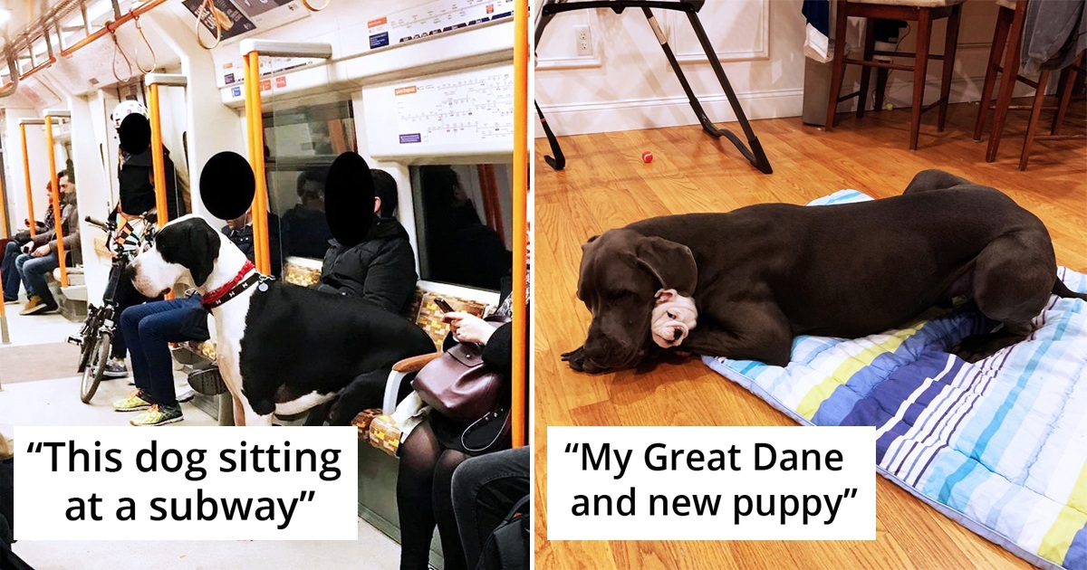 20 Great Danes That Still Think They're The Lap Puppies They Were