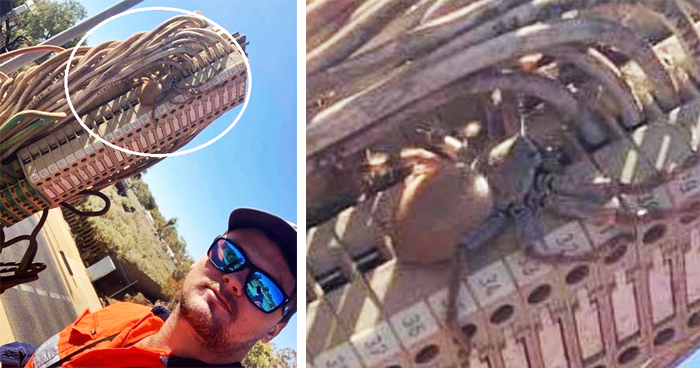 Man Captured A Gigantic Pregnant Huntsman Spider On A Set Of Traffic Lights