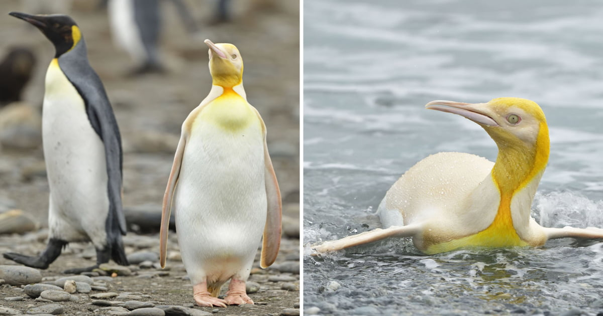 An Extremely Rare Once-In-A-Lifetime Yellow Penguin Captured By Wildlife Photographer