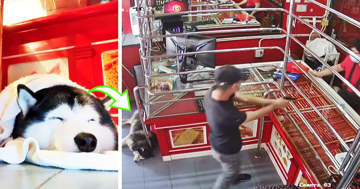 Guard Husky Goes Viral For Hilariously Ignoring Fake Robber During A Training Exercise