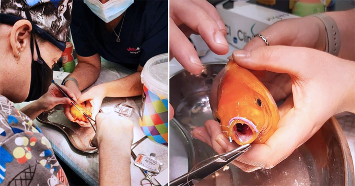 Pet Goldfish Undergoes Surgery To Fix Its Broken Jaw Using Paperclips